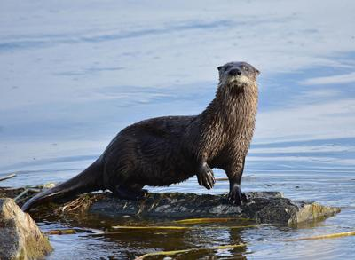 SD poised to remove otters from threatened species list
