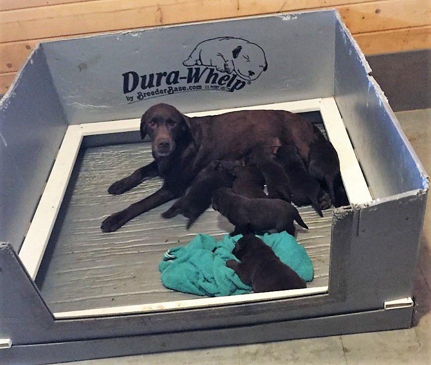 AKC Chocolate lab puppies! image 1