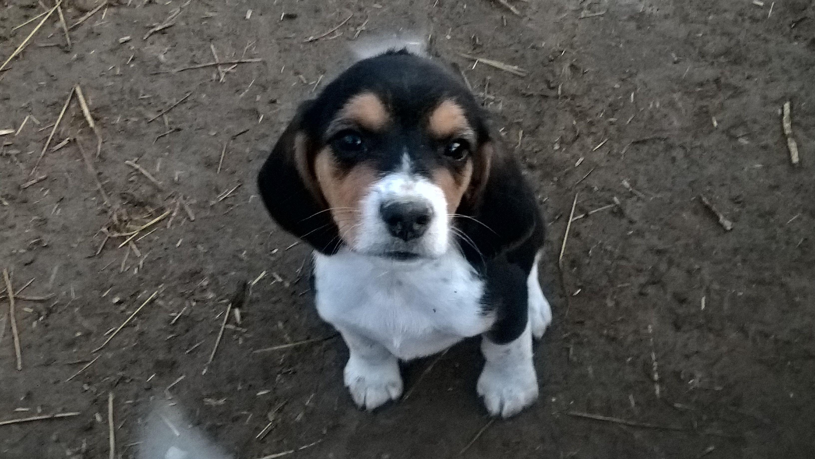Beagle puppies image 1