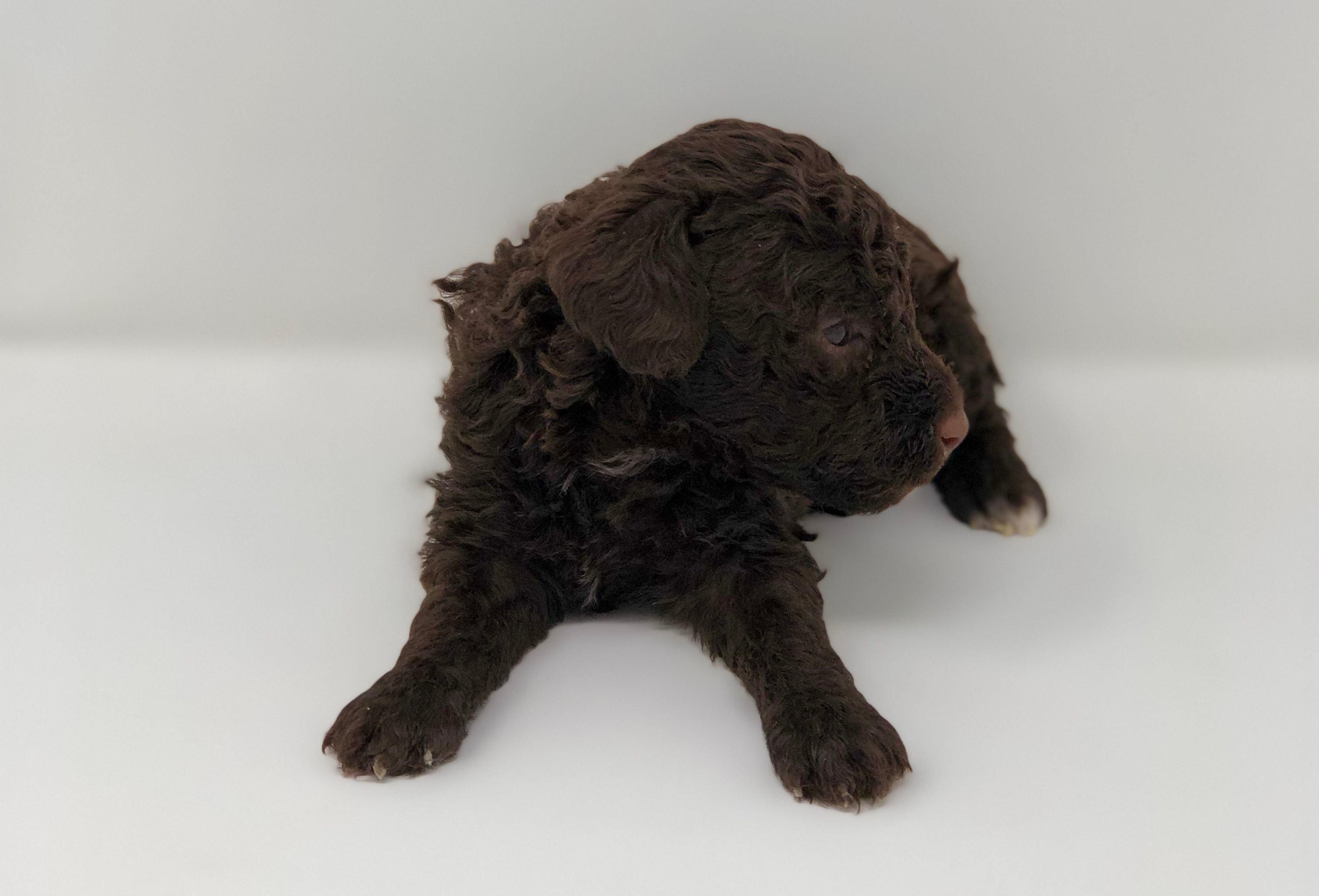 Mini Goldendoodle puppies image 1