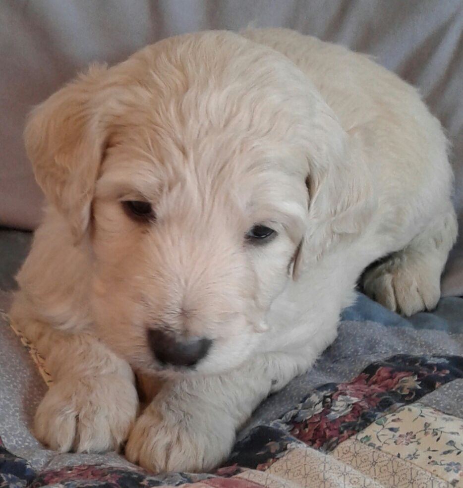 Goldendoodle f1b puppies image 1
