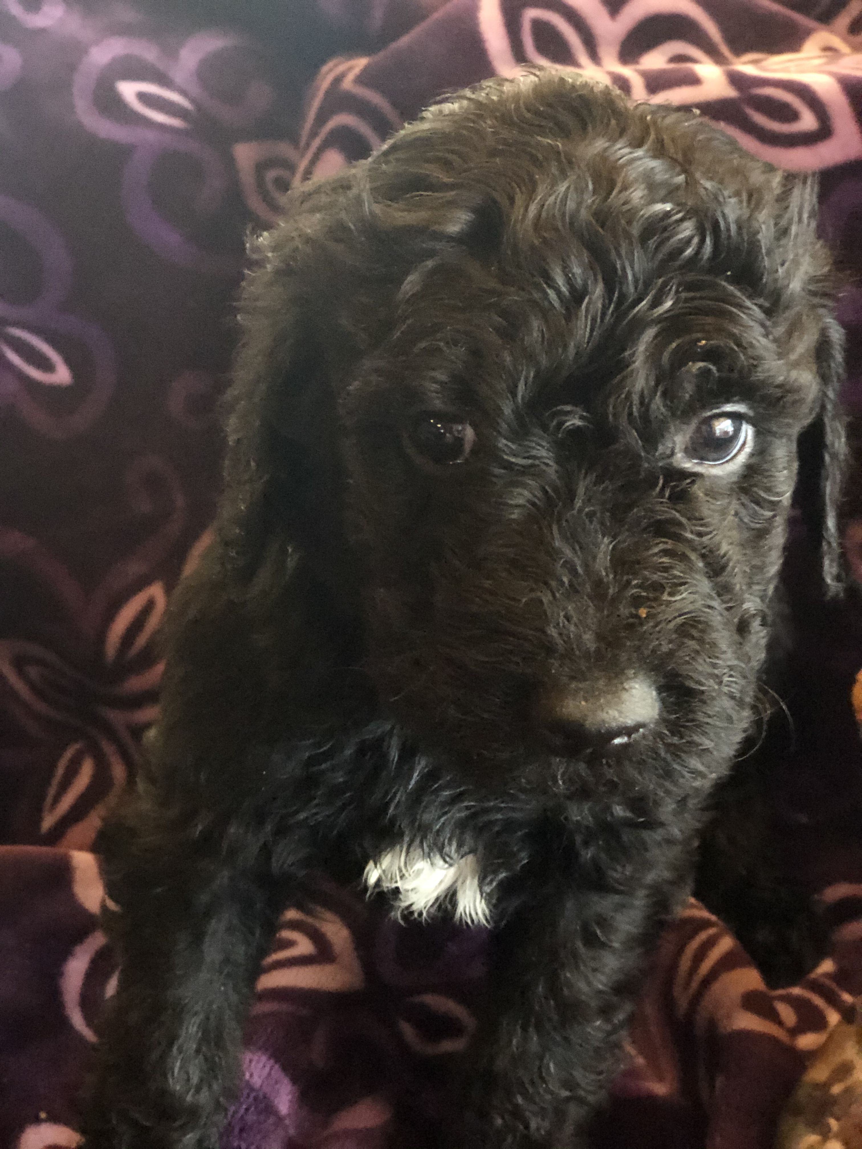 Goldendoodle Puppies image 2