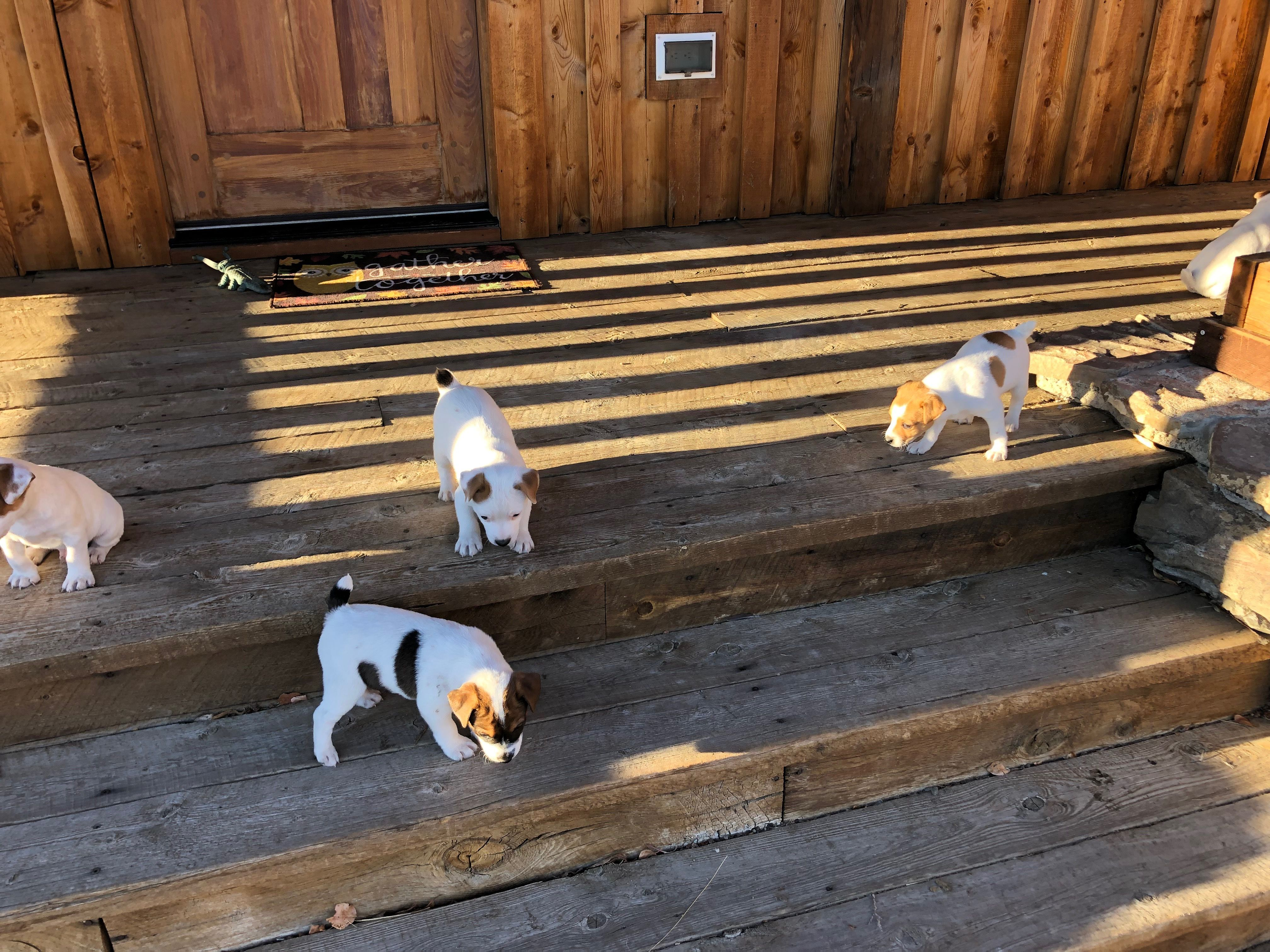 Jack Russell Terriers For Sale image 1