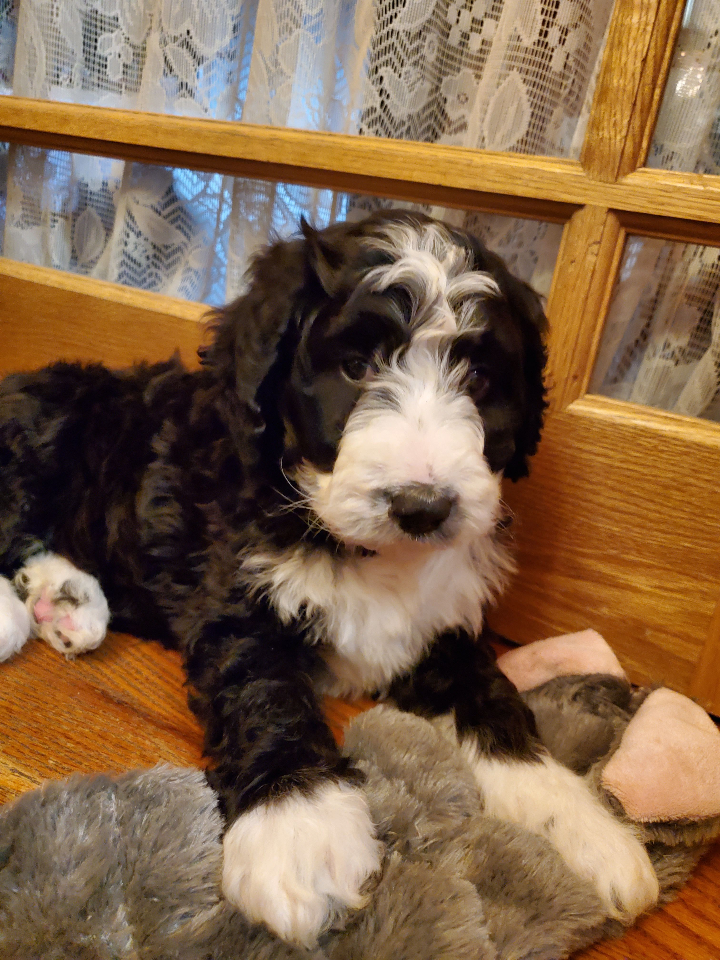 Bernedoodle Puppies image 1