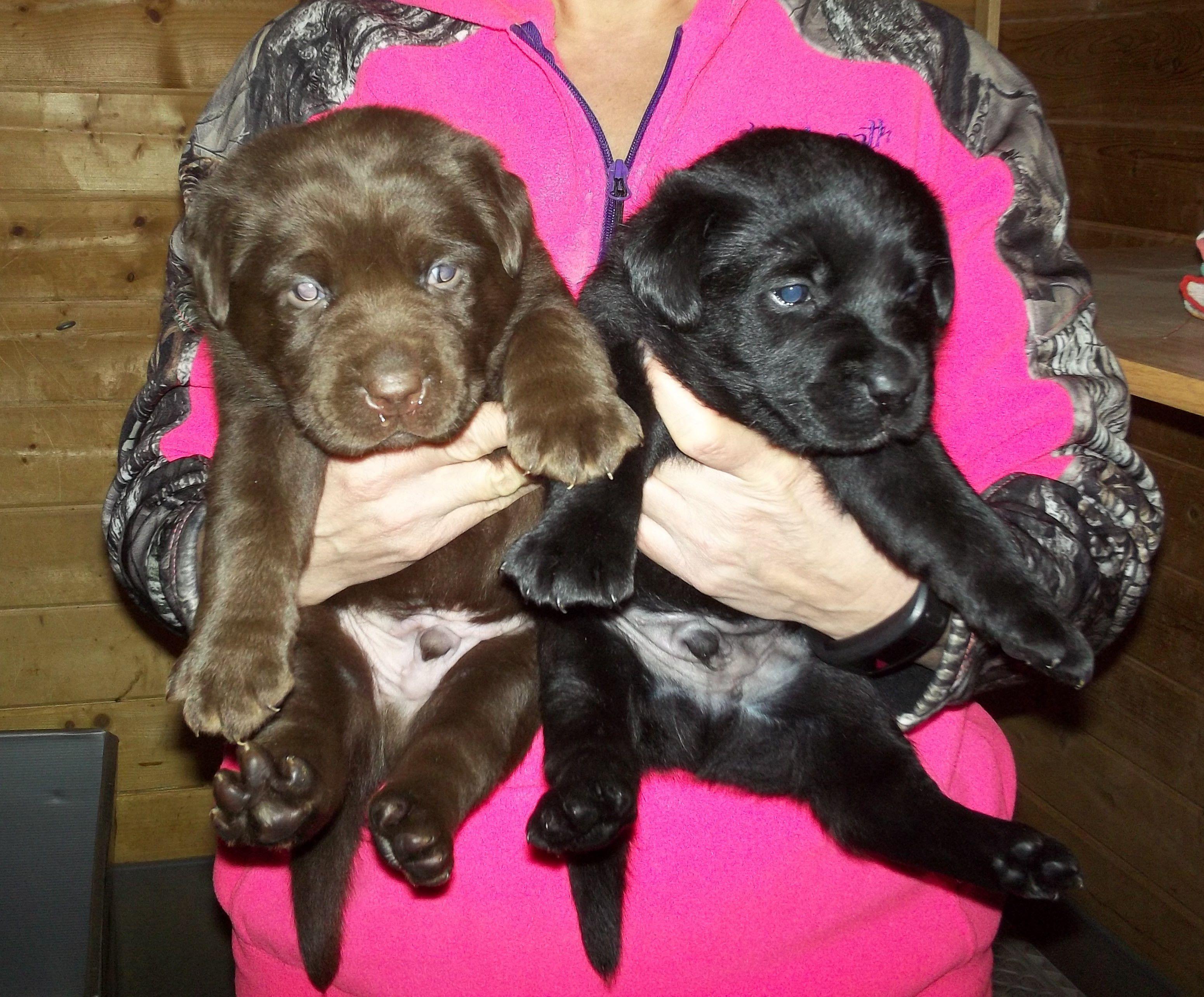 AKC Lab Puppies image 1
