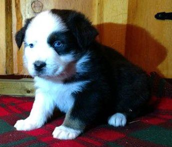 AKC REGISTERED AUSTRALIAN SHEPHERD PUPPIES image 1