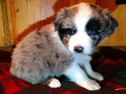 AKC REGISTERED AUSTRALIAN SHEPHERD PUPPIES image 2