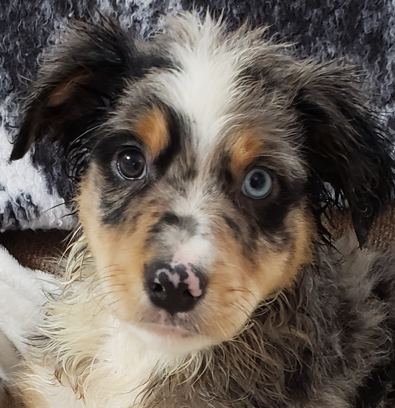 Mini Australian Shepherd Boy Pup