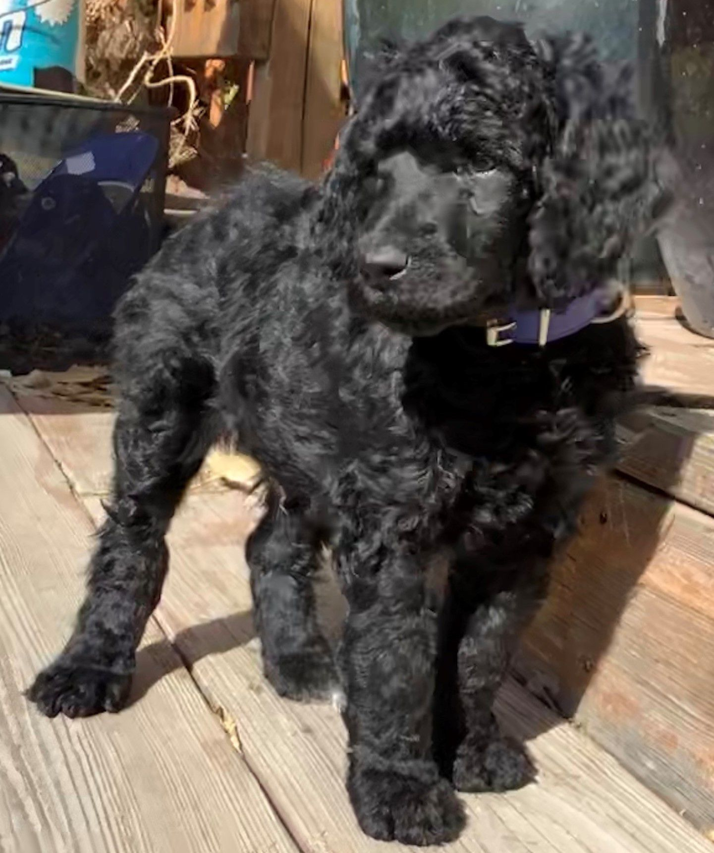 AKC Standard Poodle Puppies for sale image 2