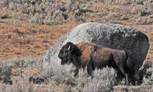 Buffalo rub