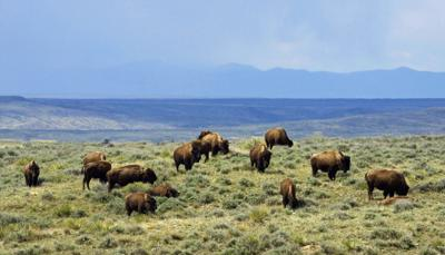 Eastern Montana bison