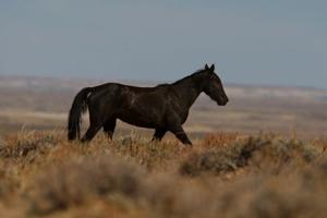 BLM plans to relocate 1,500 Wyoming wild horses