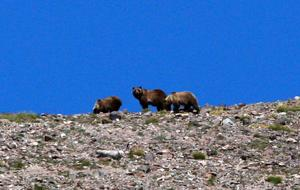 Photos: On this remote Wyoming mountainside, grizzlies feast on moths