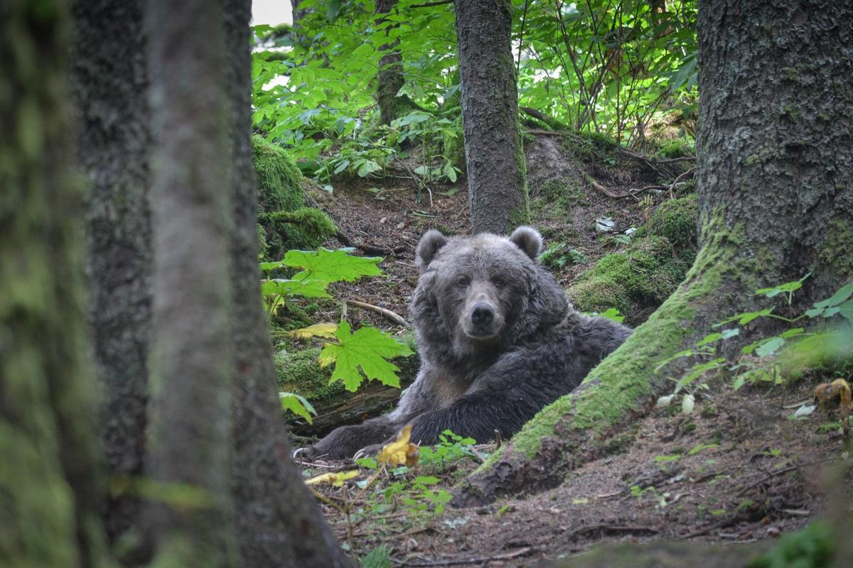 On Alaskan island bear encounters are part of life | Outdoors ... on