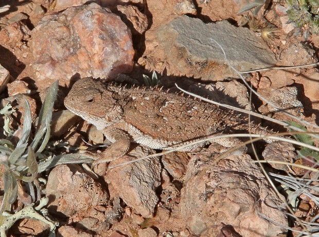 Short-horned lizard near Warren