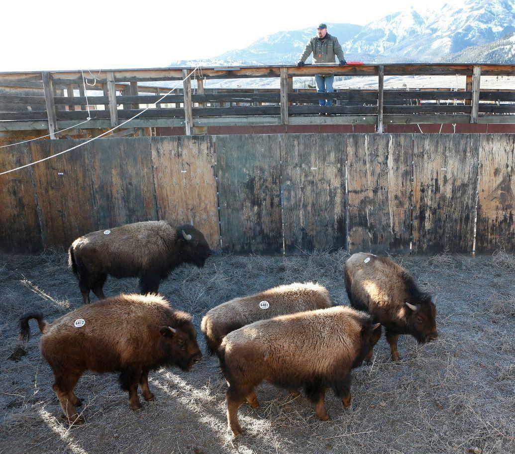 Bison trap