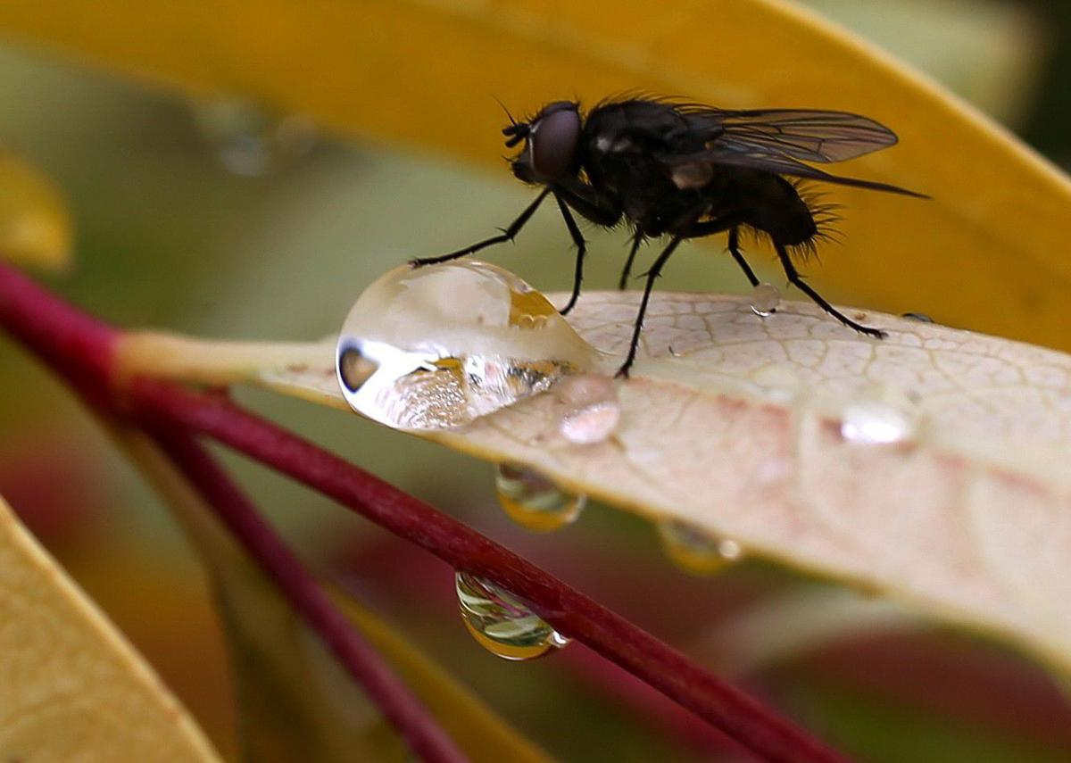 A fly rests next to a raindrop