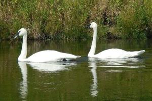 Plan continues to rebuild trumpeter swan numbers in Montana