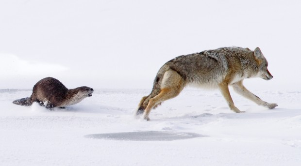Winter showdown: Photographer captures standoff between otter, coyote | Outdoors | billingsgazette.com