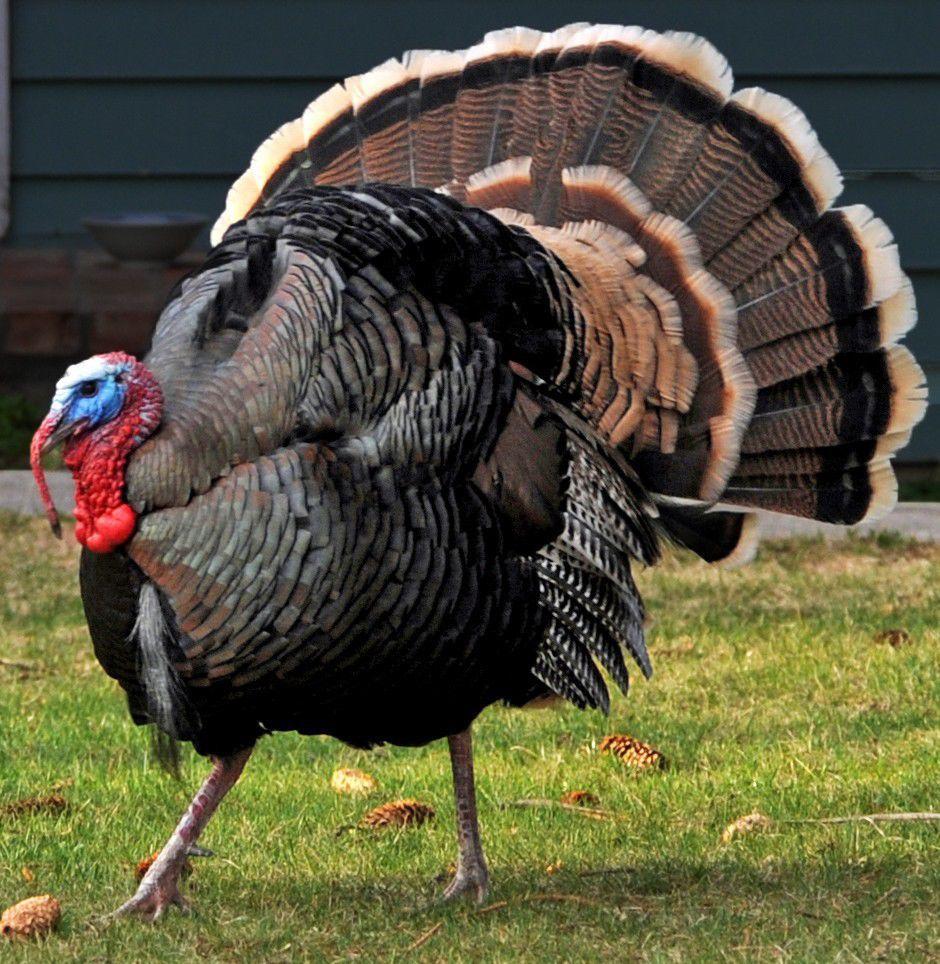 The wild turkey