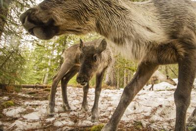 Woodland caribou calf and cow