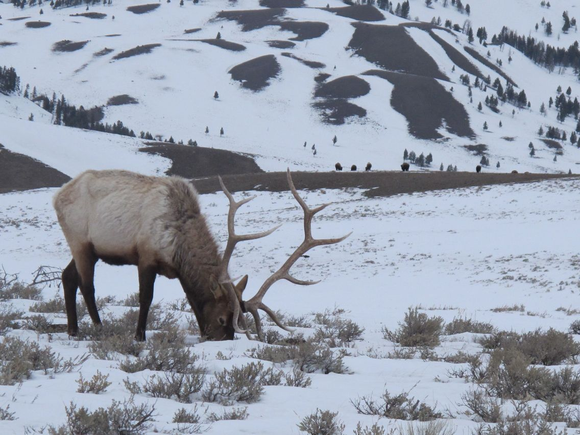 Tickets on sale for Rocky Mountain Elk Foundation banquet ...
