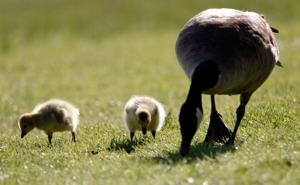 Photos: Spring weather brings goslings to Riverfront Park