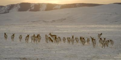 A herd of antelope anticipate another cold night