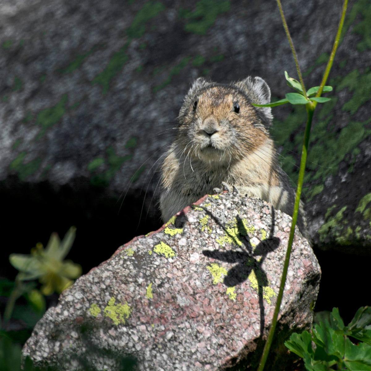 Beartooth Wilderness pika