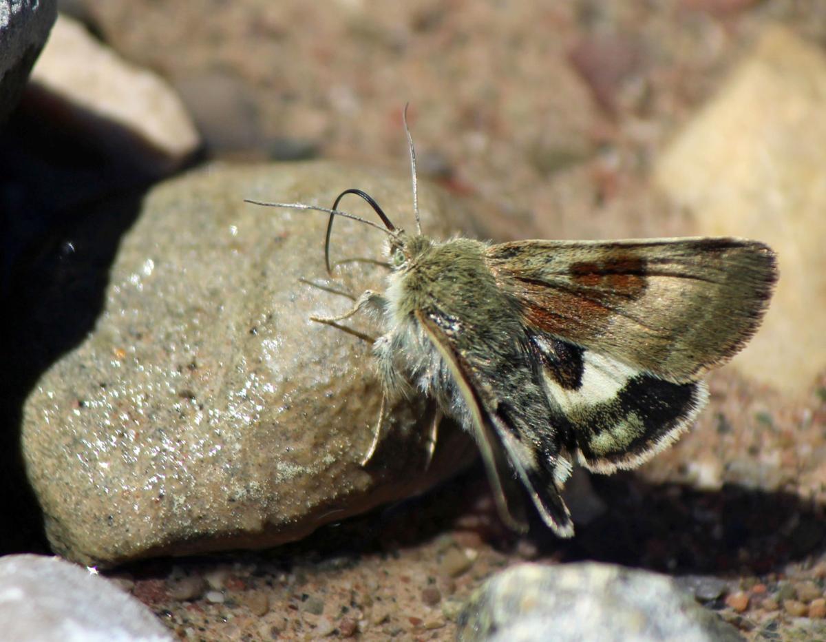 Oregon gem moth