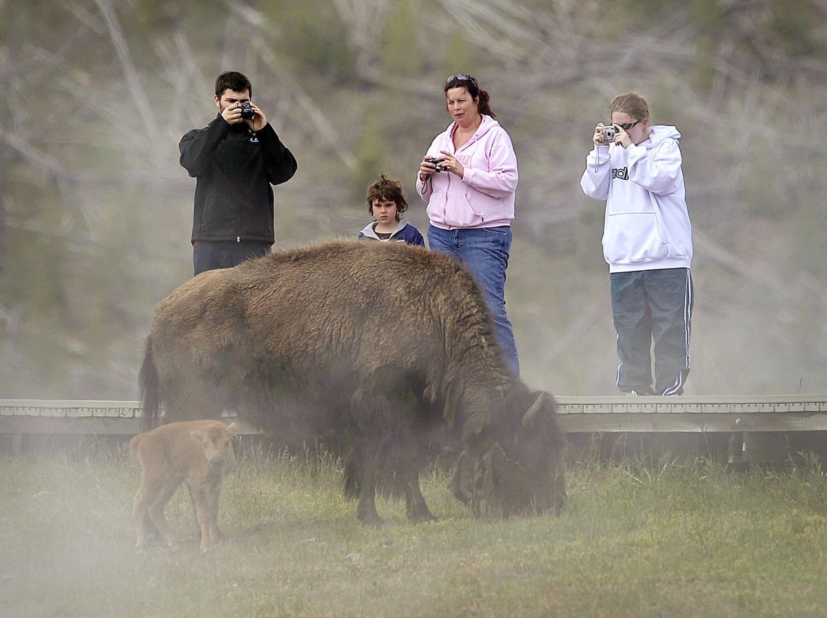 Bison photos