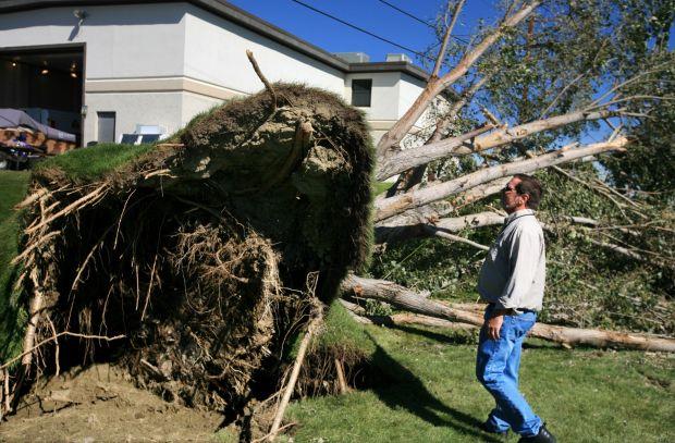 Large cottonwood tree