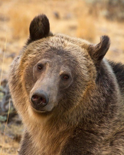 Female grizzly bear