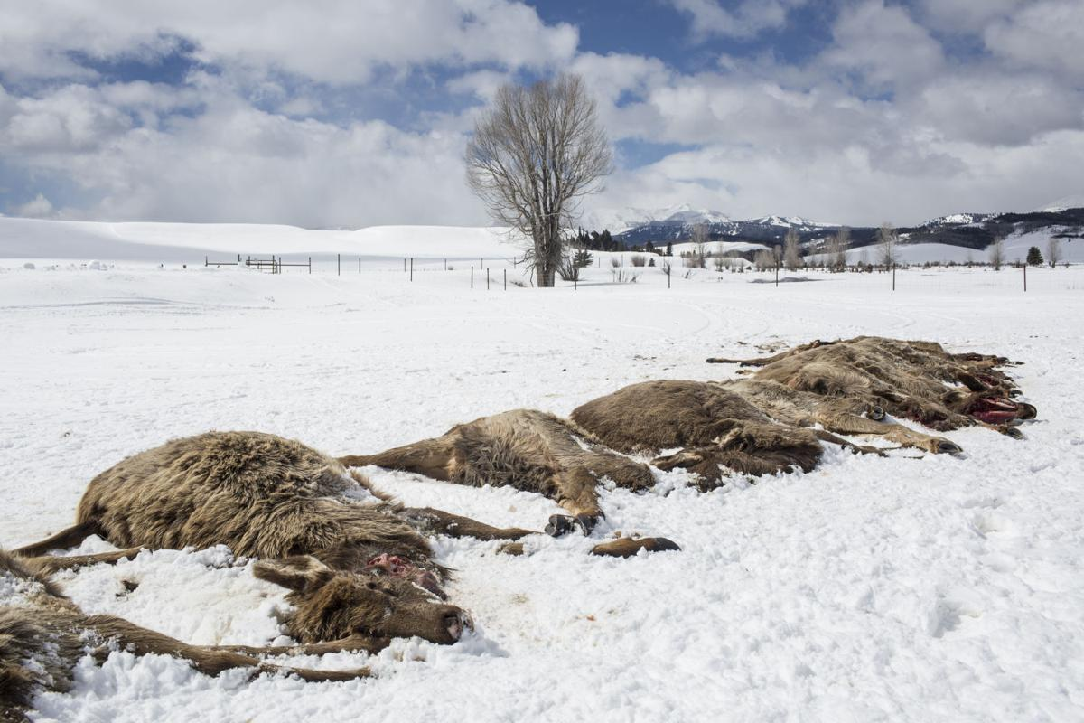 Wolves kill 19 elk near Bondurant, Wyo.