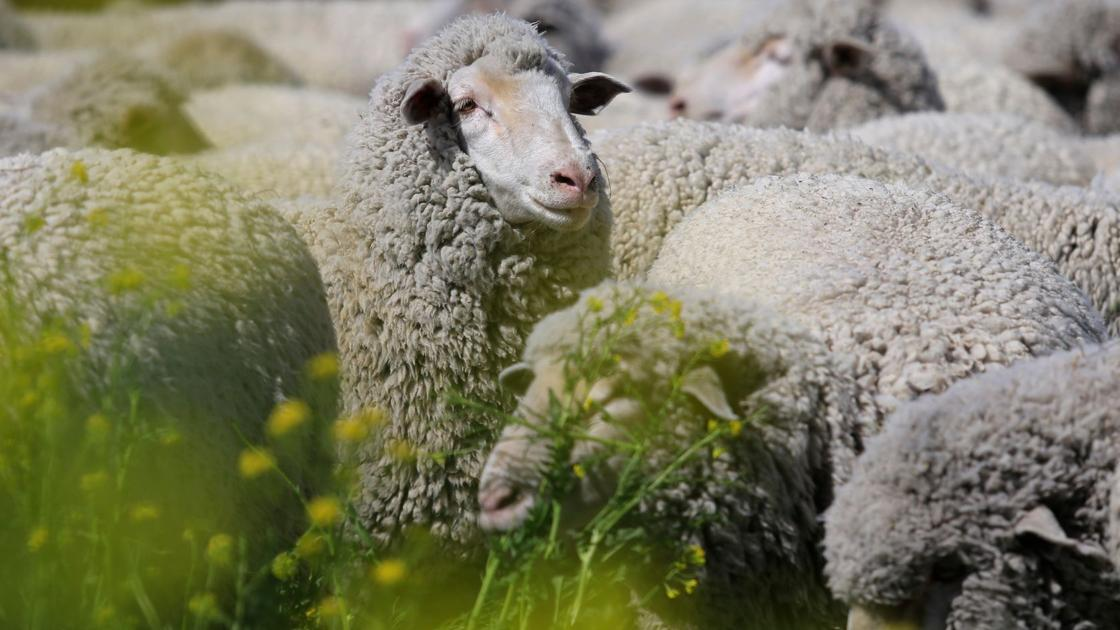 Judge sides with conservationists in sheep grazing dispute