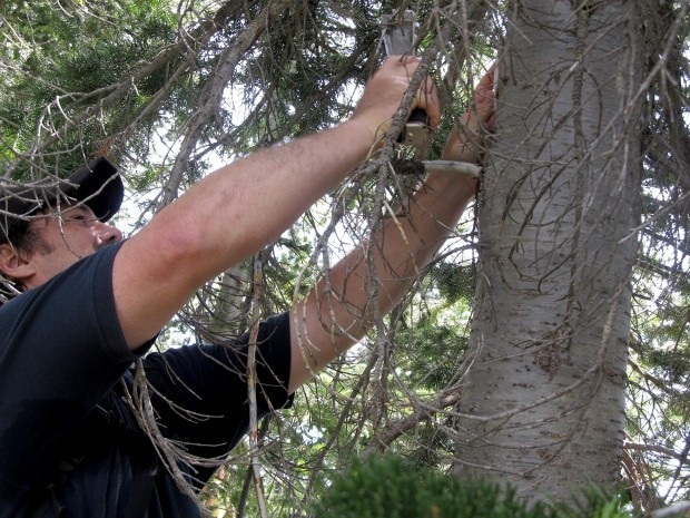 Todd Steele attaches a pheromone patch to a whitebark pine