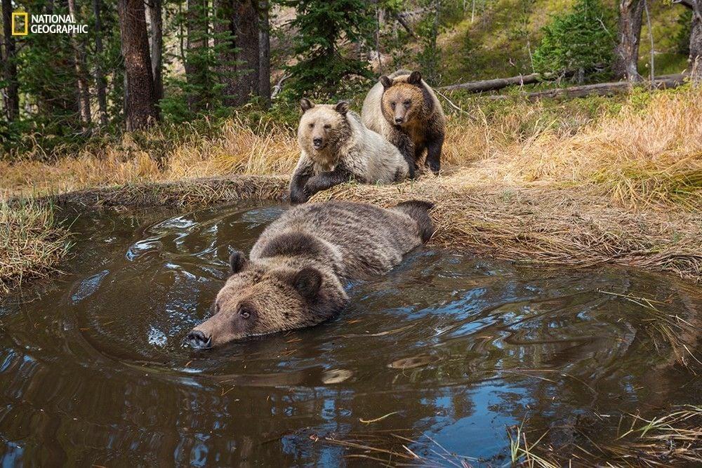Bear Bathub