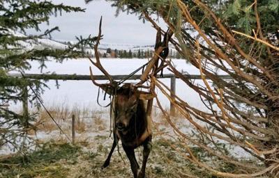 Tangled elk