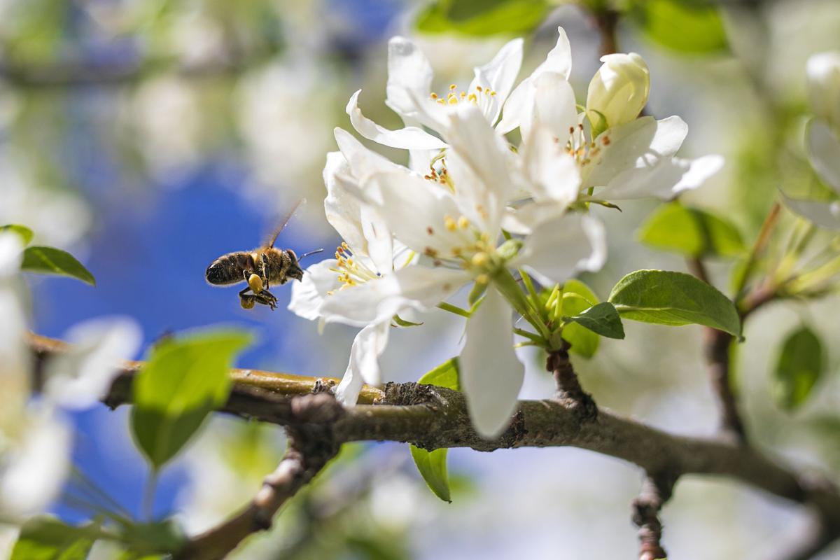 Honey bee enjoying May flowers