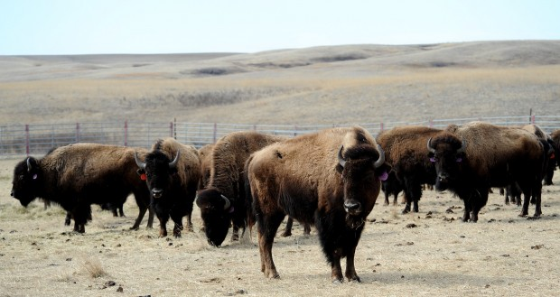 Yellowstone bison at Fort Peck