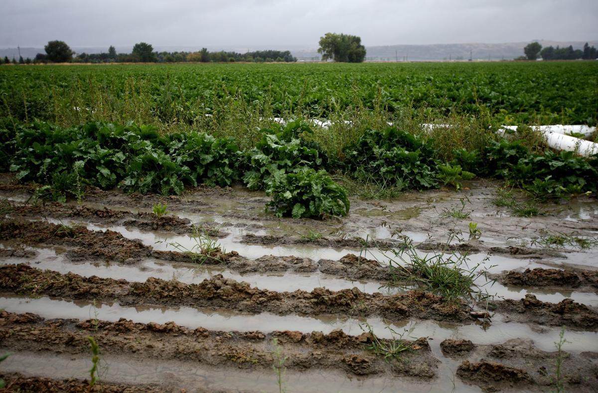 Rainy sugar beets
