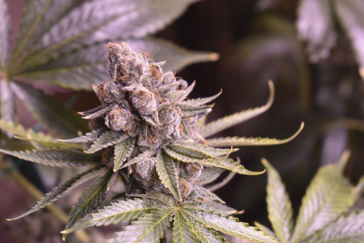 Election 2020 Marijuana Legalization