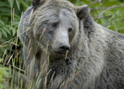 GrizzlyBear_Yellowstone_USFWS_FPWC.jpg