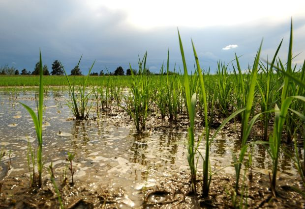 Stunted wheat stalks grow in standing water