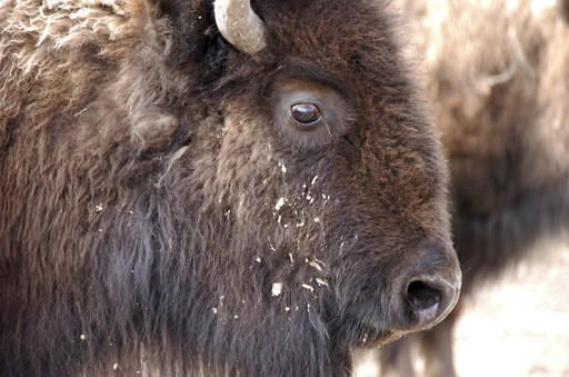 APNewsBreak: Deal allows Yellowstone bison slaughter