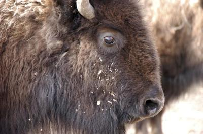 APNewsBreak: Deal allows Yellowstone bison slaughter