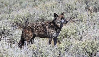 Yellowstone wolf 926F