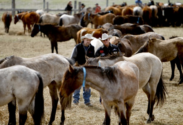 Potential buyers look over horses