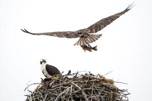 Osprey lunch