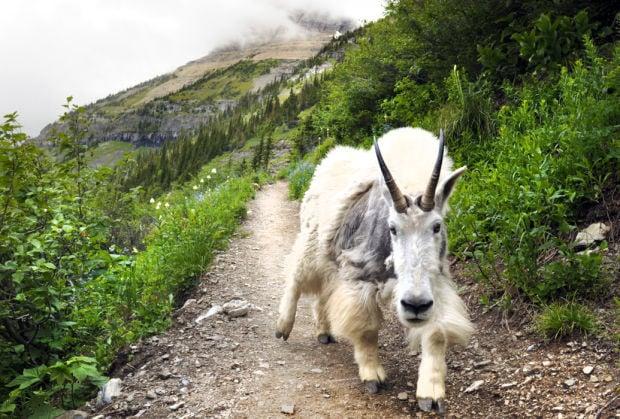 062513 goat kw.jpg